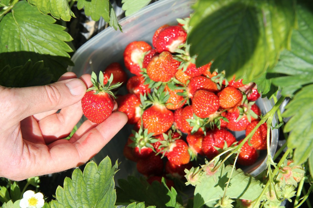 Strawberry picking, flower collecting 011