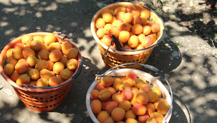 House to rent in Begnins. Apricot season in Valais