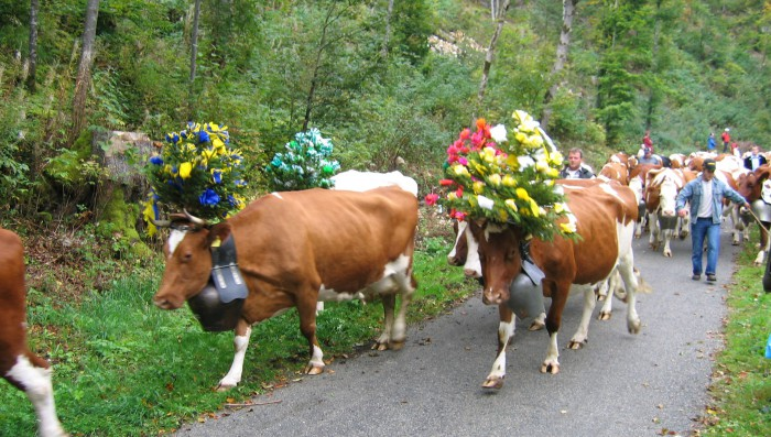Decorated Cows come down the Mountain on Saturday Sept 28th
