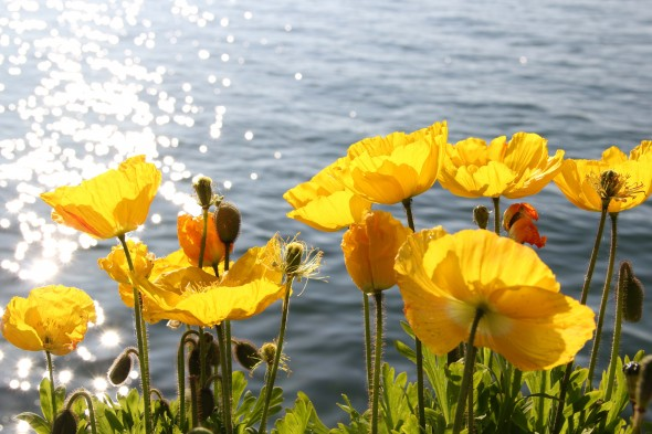 Yellow flowers by lake