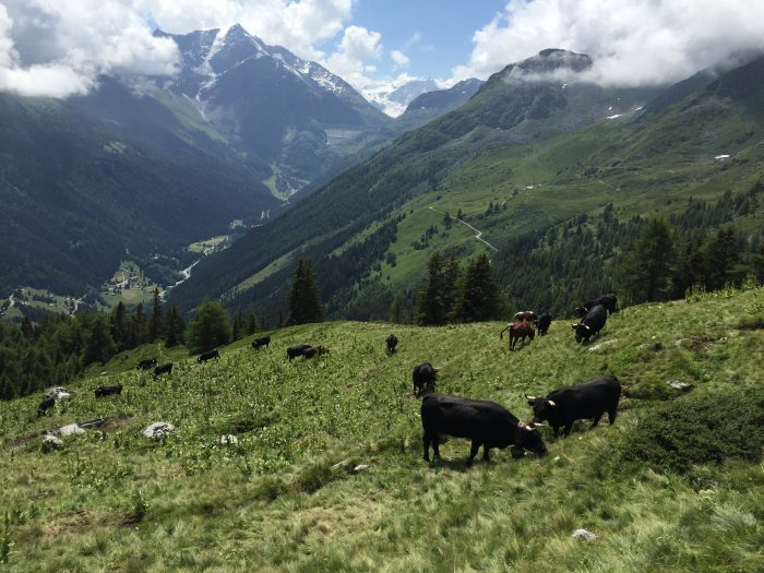 Val d'Hérens cows, with Grande Dixence in distance