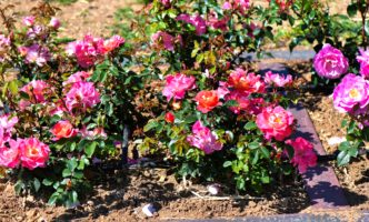 A World First for Roses – in Nyon!