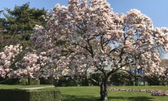 Magnificent Magnolia now in Bloom in Nyon